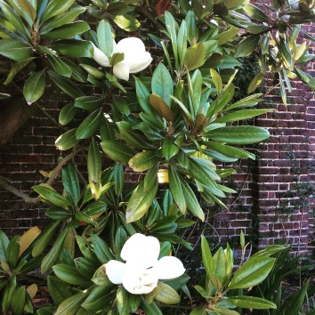 Magnolia flowers and leaves