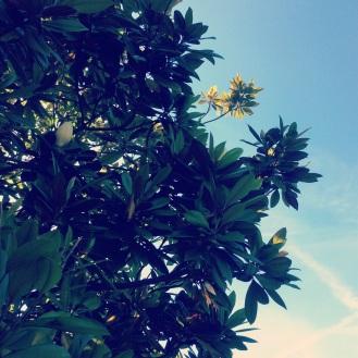 Magnolia leaves and sky